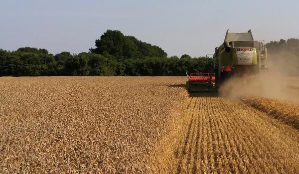 nieuwe oogst tarwe