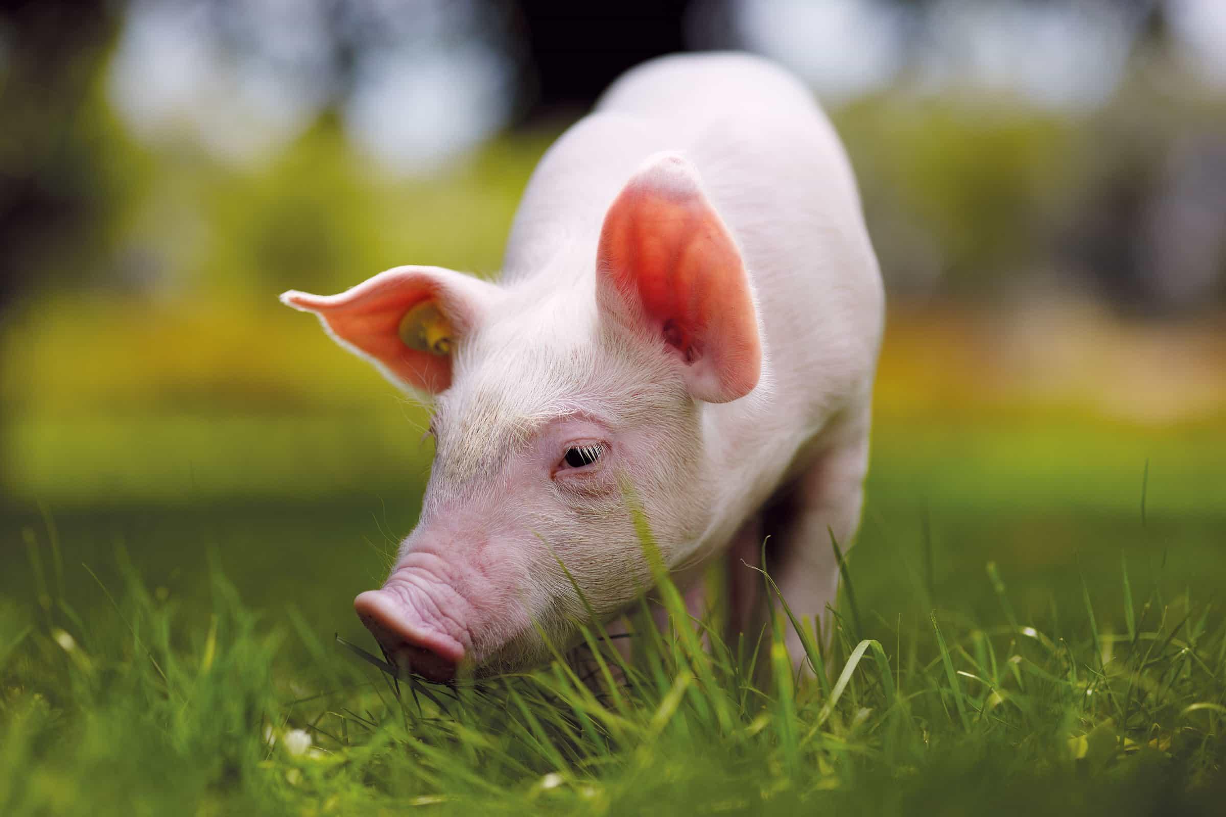 biologisch varkensvoer