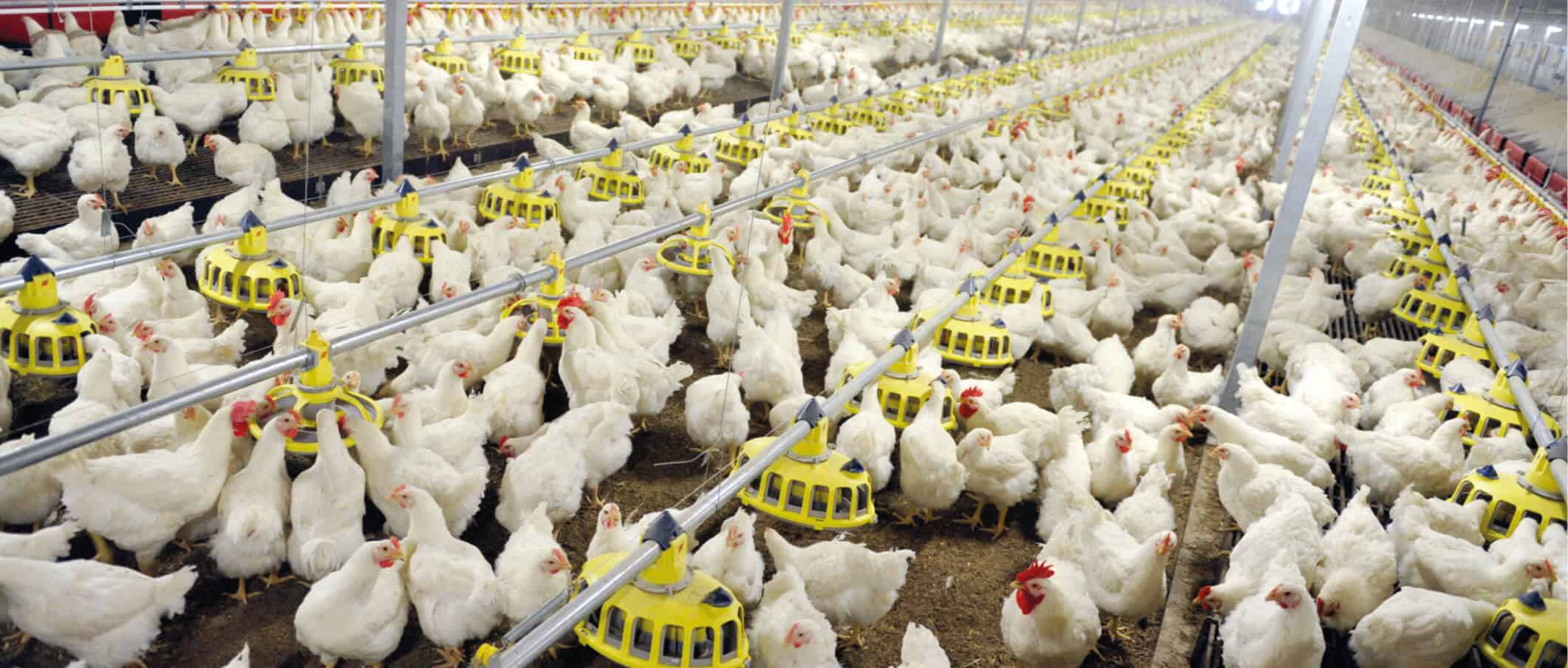 voer voor vleeskuikenouderdieren
