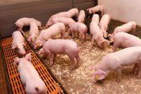 darmproblemen varkens
