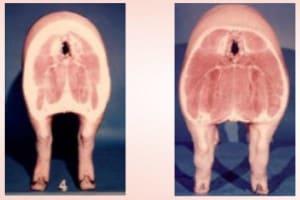 GMI-techniek: zeugen preciezer voeren naar behoefte door het meten van spekdikte en spierdikte