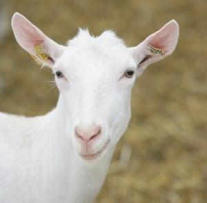 Het assortiment geitenvoeders is zo samengesteld dat we voor elke bedrijfssituatie een passende oplossing hebben.