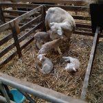 aandachtspunten rondom aflammeren schapen