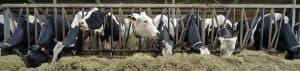 mineralen: vitaliteit van koe en kalf