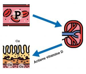actieve vitamine D in droogstandsrantsoen
