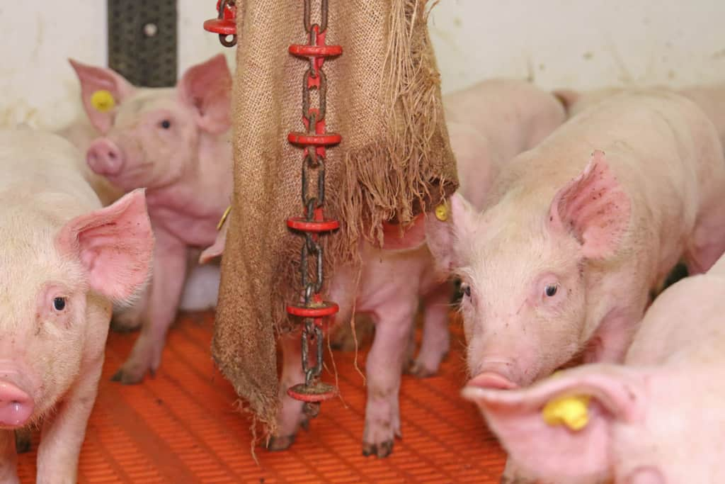 afleidingsmateriaal varkenshouderij