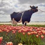 videobijeenkomst voersaldo per koe