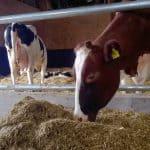 gesneden gerstestro voor droge koeien