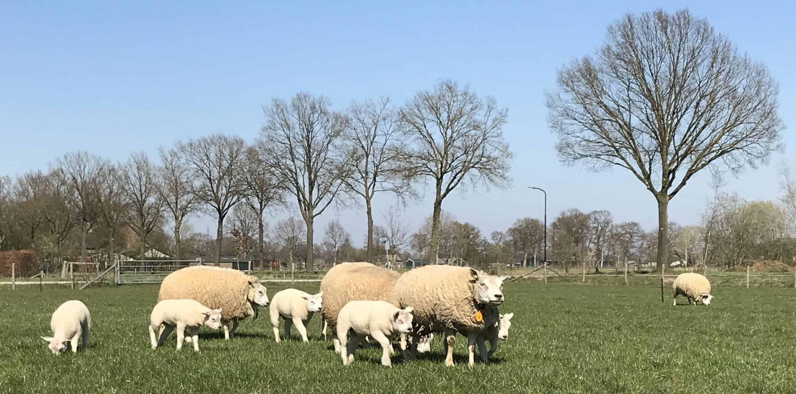 Cobalt voor schapen in de weide