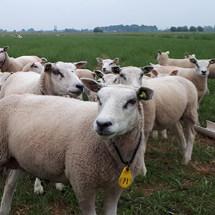 Behandel schapen tegen wormen en maden