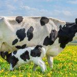 Koemelk of kunstmelk