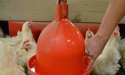 waterverstrekking hennen cruciale factor voor bovengemiddelde resultaten