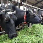 zomerstalvoeren of vers gras voeren, melkvee
