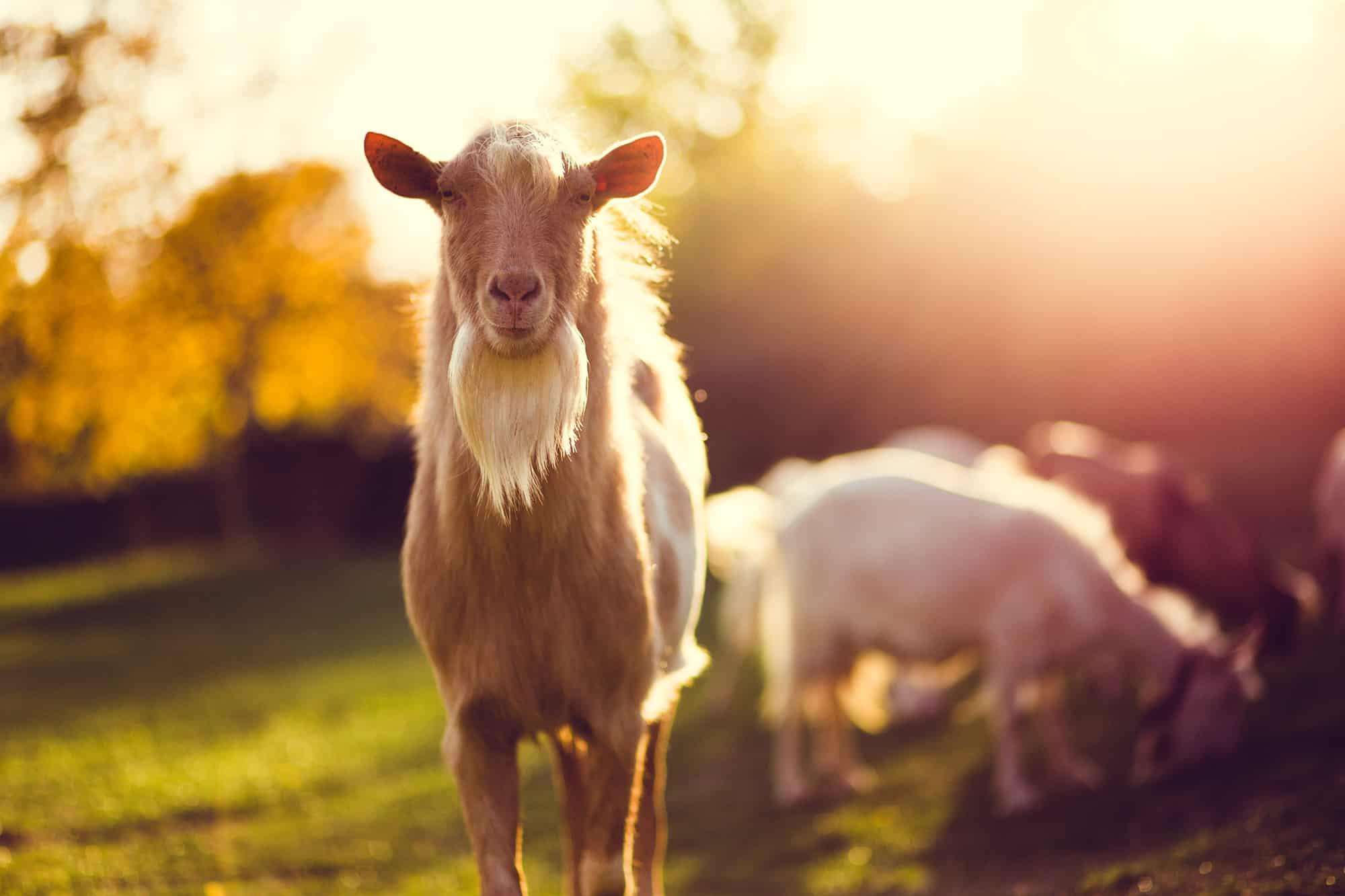 bronstig geiten drachtig