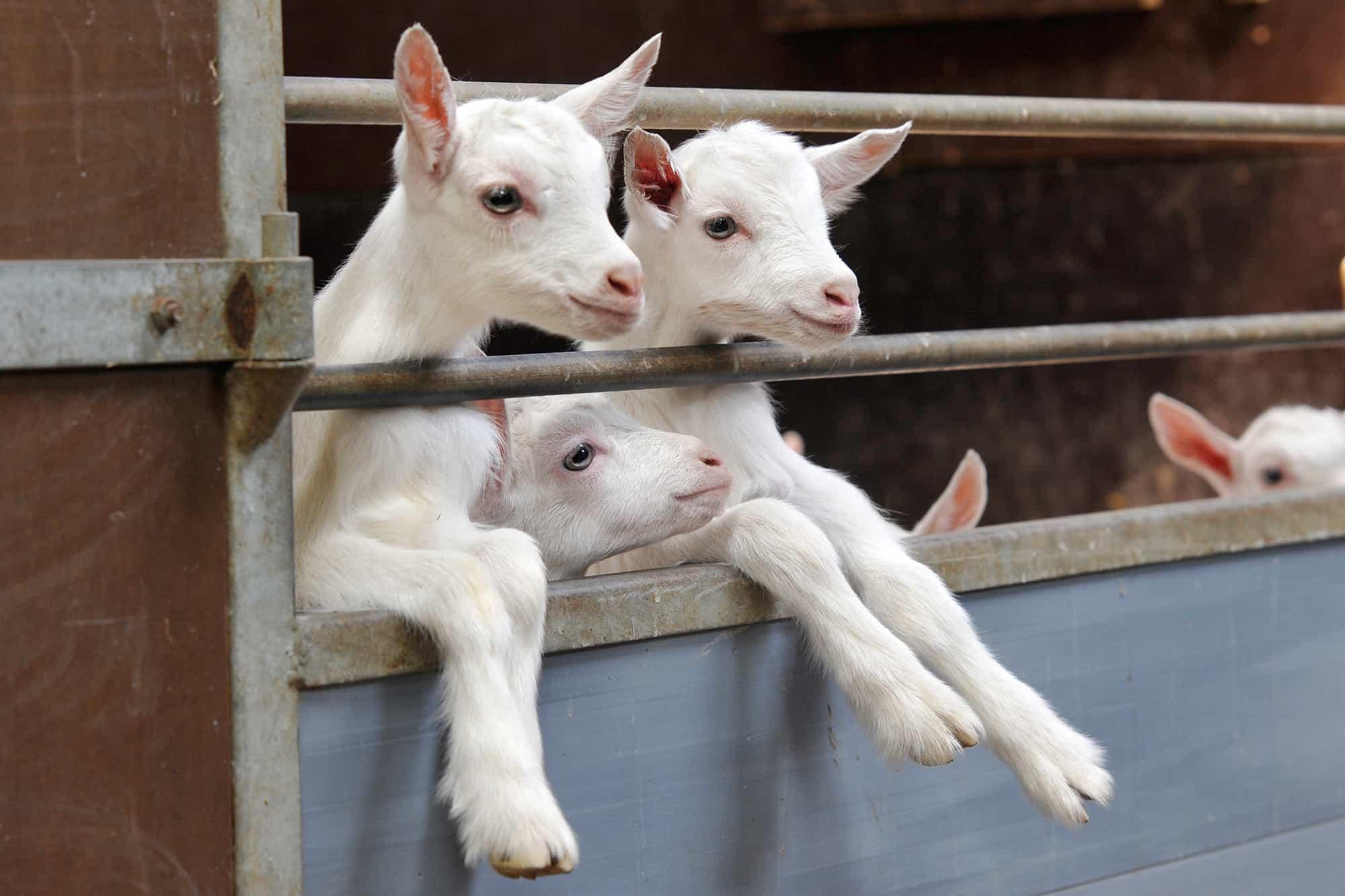 Juniormuesli voor geiten