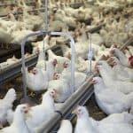 foktoomvoer vleeskuikenouderdieren