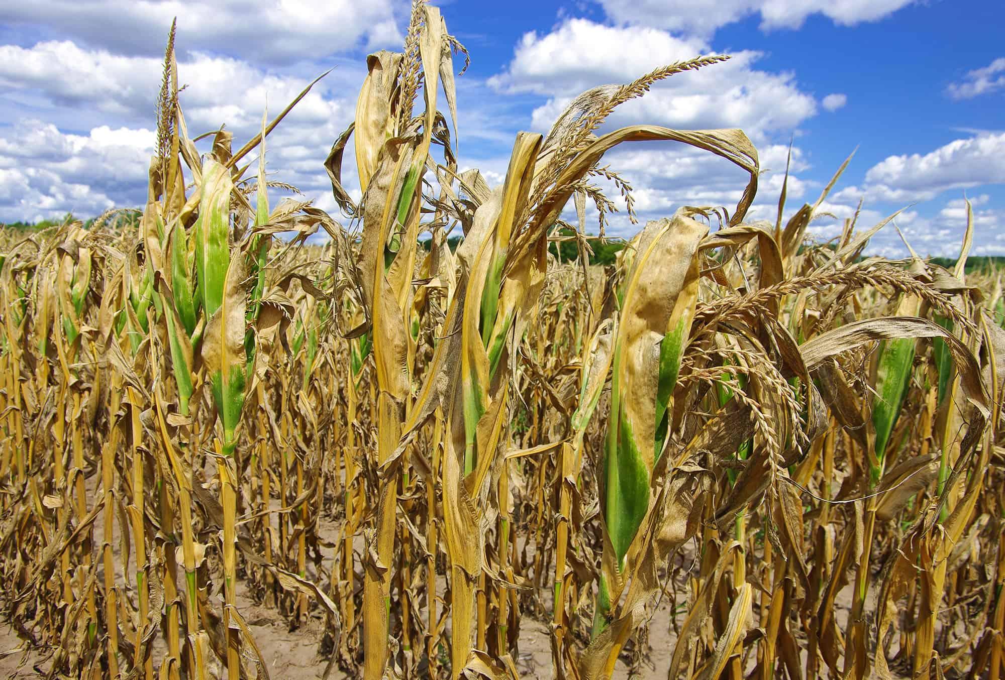 droogte laat prijzen stijgen - prijsverwachting grondstoffen ABZ Diervoeding