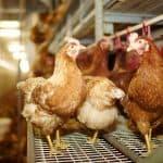 Hittemix voor pluimvee van ABZ Diervoeding