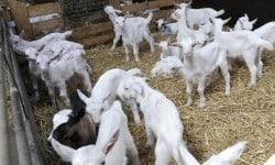 Lammerenopfok geiten