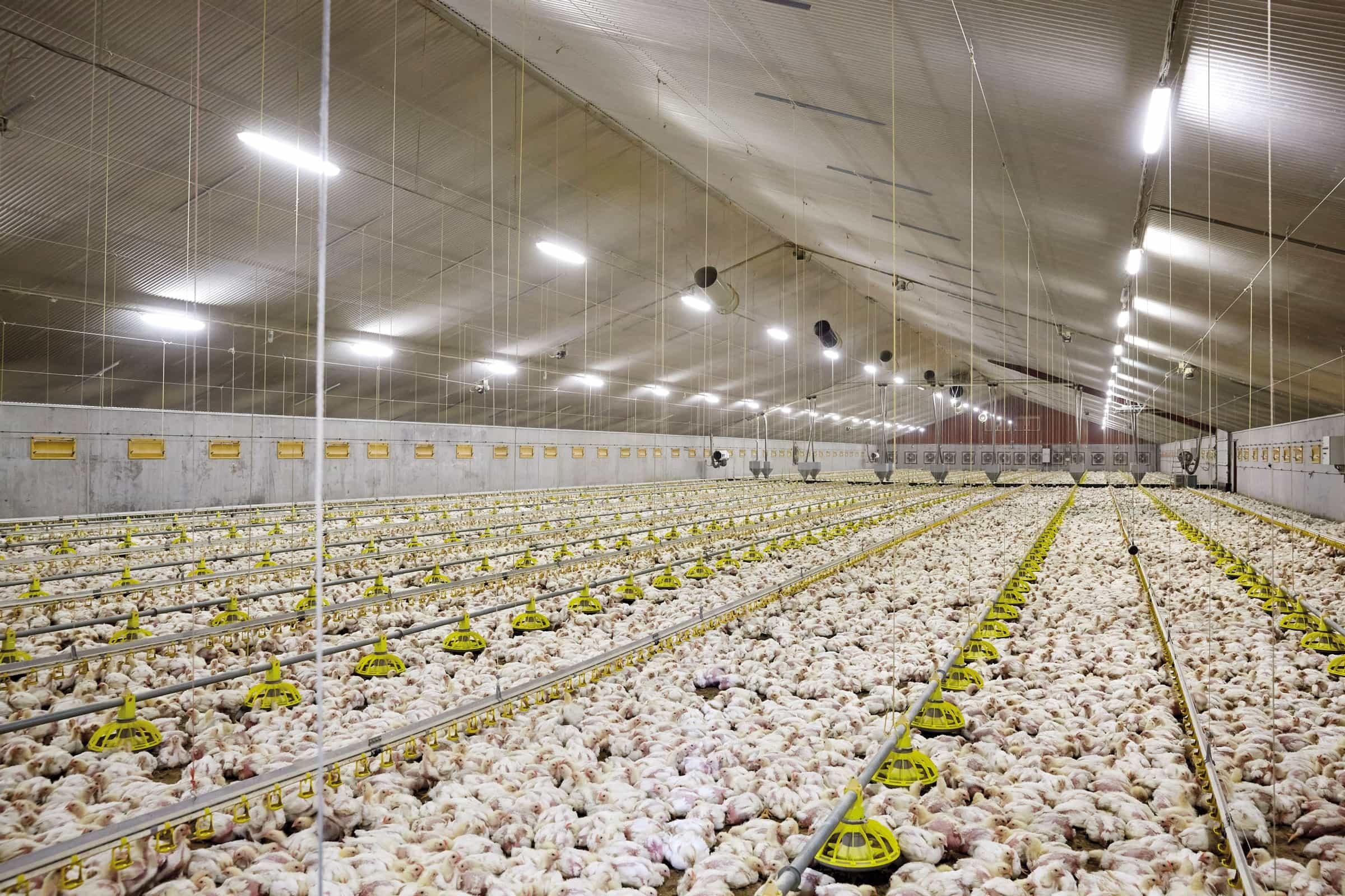 vleeskuikenvoer Stabielo voeren
