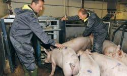 Hans Gerrits van ABZ Diervoeding en Arnold Veldman trainen de gelten op VIC Sterksel
