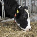 conditiescore koe, BCS