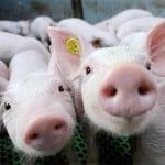 voedingsvezels voor een gezonde spijsvertering van varkens