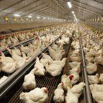 Project Breeders in Technology voor verdere verduurzaming van de vleeskuikenouderdieren sector