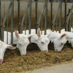 dentmais voor geiten