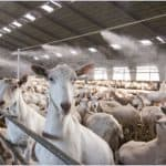 hittestress bij geiten voorkomen