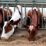 voer voor meer koeien bij koud weer