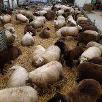 voer krachtvoer bij aan drachtige ooi