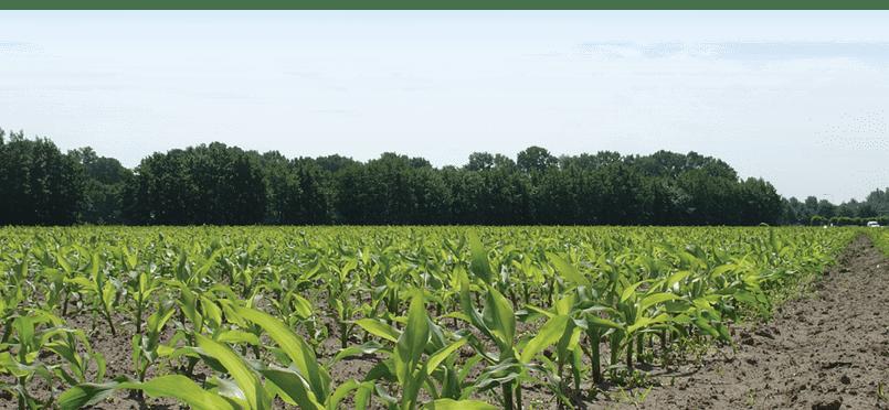 snijmais 2018 hoge VEM-opbrengst per hectare