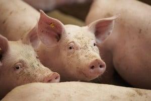 Het voerpakket vleesvarkens wordt continu verbeterd door de nieuwste wetenschappelijke inzichten.